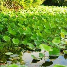 fiori di loto lago Inle