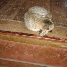 gatto al tempio