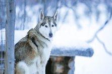 Tinja-husky-eyes-930x523