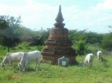 buoi e stupa