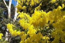 le-mimosa-Cote d'Azur