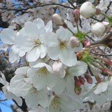 fioritura dei ciliegi Eur
