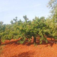 alberi di ciliegie