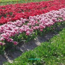 campo di tulipani fioriti