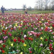 giardino dei tulipani da raccogliere