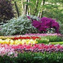 in fiore al Keukenhof