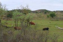 mucche delle Highlands a Zandvoort