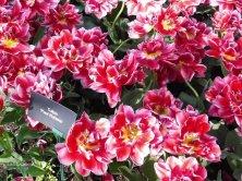 tulipani Rubens