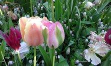 tulipani colori tenui