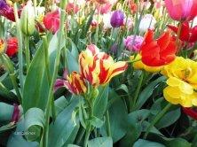 tulipani doppi