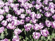 tulipani lilla