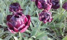 tulipani porpora grandi