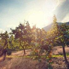 frutteto di albicocche