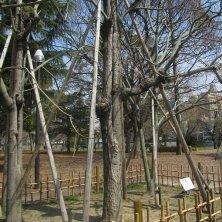 alberi fenice a Hiroshima