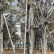 alberi rinati a Hiroshima