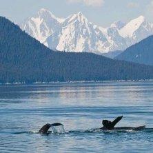 balene Alaska foto Mark Kelley