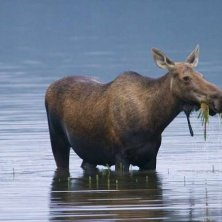 moose in Denali National Park foto Michael DeYoung