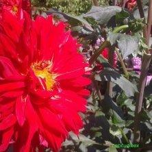 dalia rossa ai Giardini di Castel Trauttmansdorff