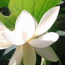 fiore di loto ai Giardini di Castel Trauttmansdorff