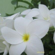 fiori delle Maldive