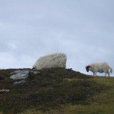 pecore alle scogliere