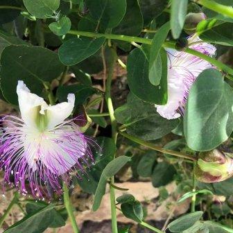 fiore del cappero Monte Catalfano Sicilia