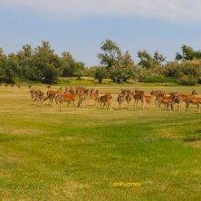 Albarella_i daini del campo da golf_phVGaluppo