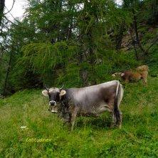 Val di Zoldo_mucche al pascolo_phVGaluppo
