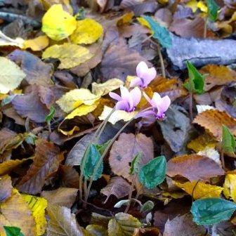 ciclamini d'autunno a Monterano