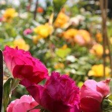fiori a Grasse