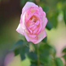 rosa del roseto