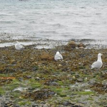 gabbiani sulla bassa marea