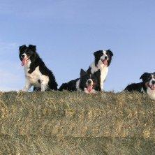 cani da pastore Irlanda