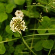fiore del trifoglio
