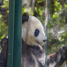 panda allo zoo