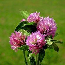 trifoglio in fiore