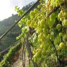 uva bianca ligure