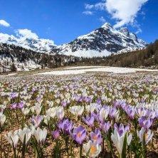 AltaValtellina_ValViola_Crocus_fioritura_CornoDosdè primavera in Valtellina