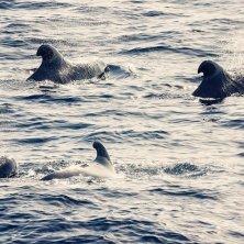 branco di balene a Tenerife