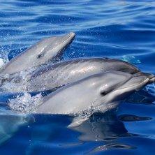 delfini mare di Tenerife