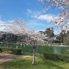 laghetto dell'Eur con i ciliegi in fiore