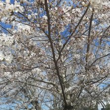 laghetto dell'Eur sakura