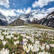 primavera in Valtellina Paesaggi-Valmalenco_AlpeDellOroFiorituraCrocus