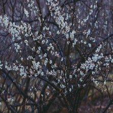 pruno fiorito