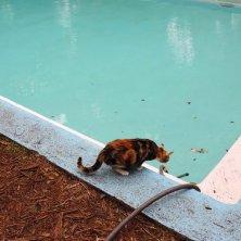 gatti di Hemingway in piscina