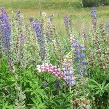 fiori spontanei natura a Les 2 Alpes