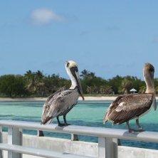 pellicani di Key West