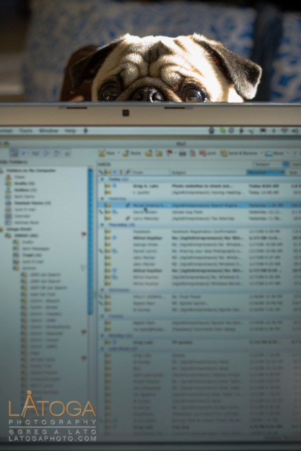 Fawn Pug peeks over top of laptop screen directly at viewer.