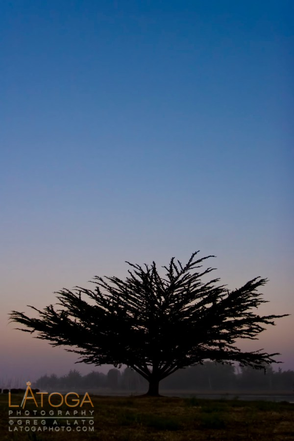Cypress Tree at Dawn in Eureka, California