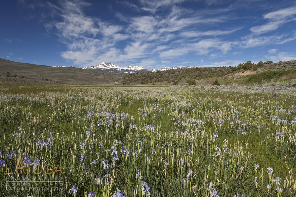Field of Wild Iris with Distant Snow Capped Eastern Sierra Peaks